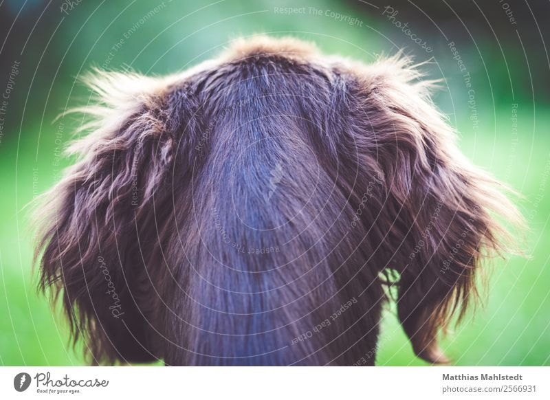Flatcoated Retriever Tier Haustier Hund Fell 1 Tierjunges beobachten Blick sitzen Freundlichkeit Fröhlichkeit kuschlig weich braun grün Vertrauen Geborgenheit