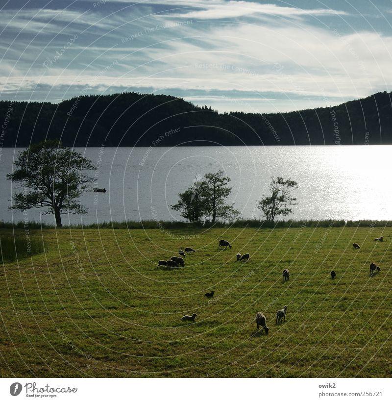 Schafe Aussicht Umwelt Natur Landschaft Pflanze Tier Himmel Wolken Klima Wetter Schönes Wetter Baum Gras Wiese Hügel Küste Bucht Bohuslän Nordeuropa Nutztier