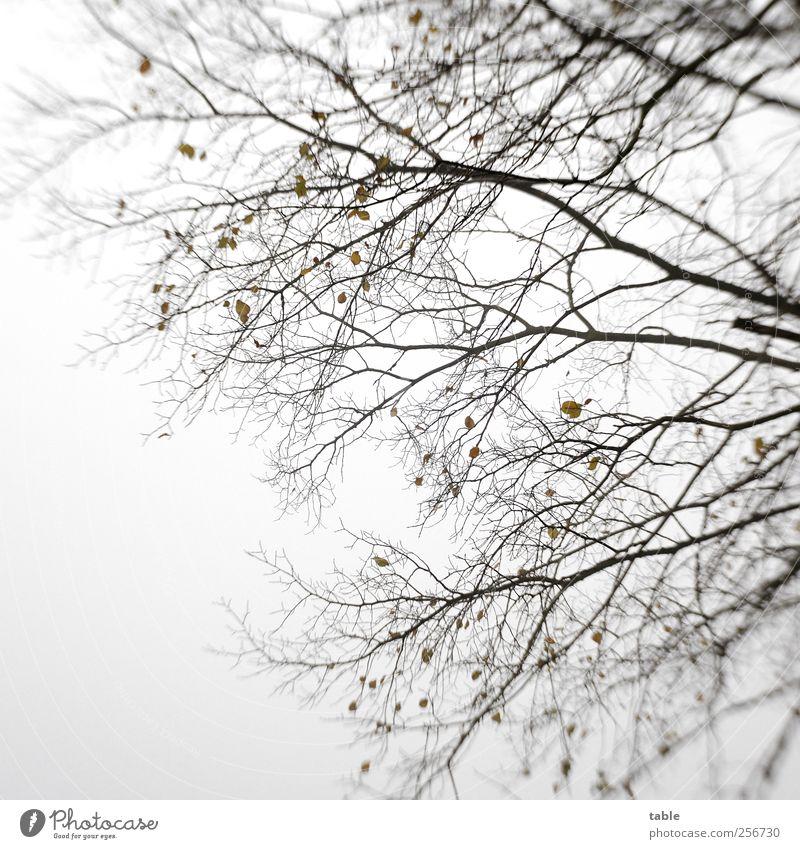 Der Letzte Rest Umwelt Natur Pflanze Luft Himmel Herbst Winter schlechtes Wetter Baum Blatt Wildpflanze Ast Zweig Holz stehen alt groß kalt natürlich braun grau