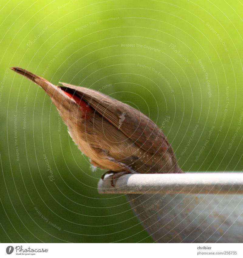 HallooOO ?? Natur Tier Vogel Fink Schwanz Schwanzfeder Flügel Krallen Futterhäuschen 1 Fressen hocken klein braun grün genießen bücken runterbeugen Farbfoto