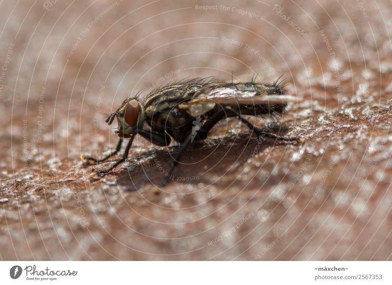 Fliege Tier 1 Erholung sitzen warten ruhig Landen gelandet Nahaufnahme Behaarung Auge Flügel Beine Insekt Fühler Wachsamkeit Schwache Tiefenschärfe Schärfe