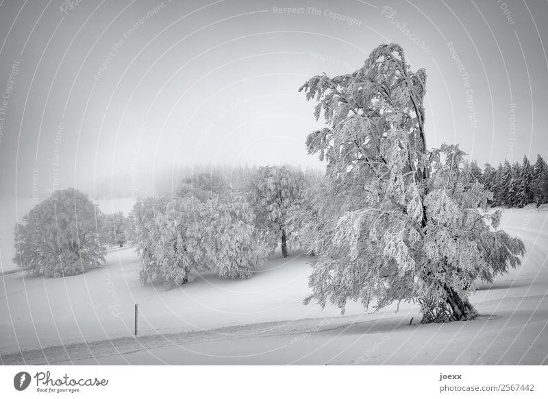 Verschneite Winterlandschaft mit schneebedeckten Bäumen, im Hintergrund Nebel Schneelandschaft Winterwald Winterstimmung Wintertag Natur Menschenleer Baum
