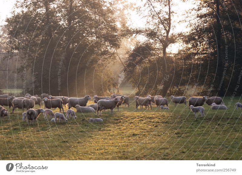 Chamansülz 2011 | get.it.right. Natur Sommer Landschaft Tierjunges Nebel viele Weide Schaf Fressen Wolle Lamm Herde Viehzucht Schwarzwald Schafherde Viehhaltung