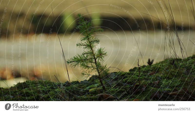 Tannenbäumchen Umwelt Natur Pflanze Herbst Baum Gras Sträucher Moos Grünpflanze Wildpflanze Nadelbaum Tannennadel Hügel dunkel authentisch klein nah mehrfarbig