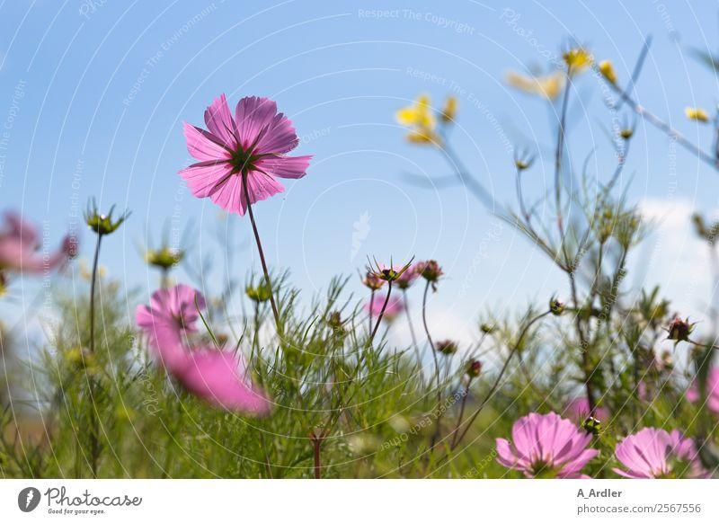 Blumenwiese Ausflug Sommer Sommerurlaub Sonne Natur Landschaft Pflanze Schönes Wetter Blüte Schmuckkörbchen Garten Wiese blau mehrfarbig gelb grün violett rosa