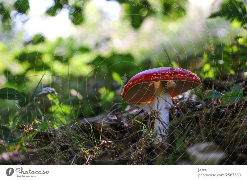 fliegenpils Natur Pflanze Herbst Schönes Wetter Wald natürlich Fliegenpilz Pilz Gift Farbfoto mehrfarbig Außenaufnahme Nahaufnahme Menschenleer