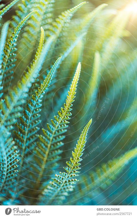 Farn Pflanze [16092018_2785] Natur Sommer Blatt Grünpflanze exotisch gelb grün Trieb Umwelt Umweltschutz Urwald Waldrand Waldlichtung Farbfoto Außenaufnahme