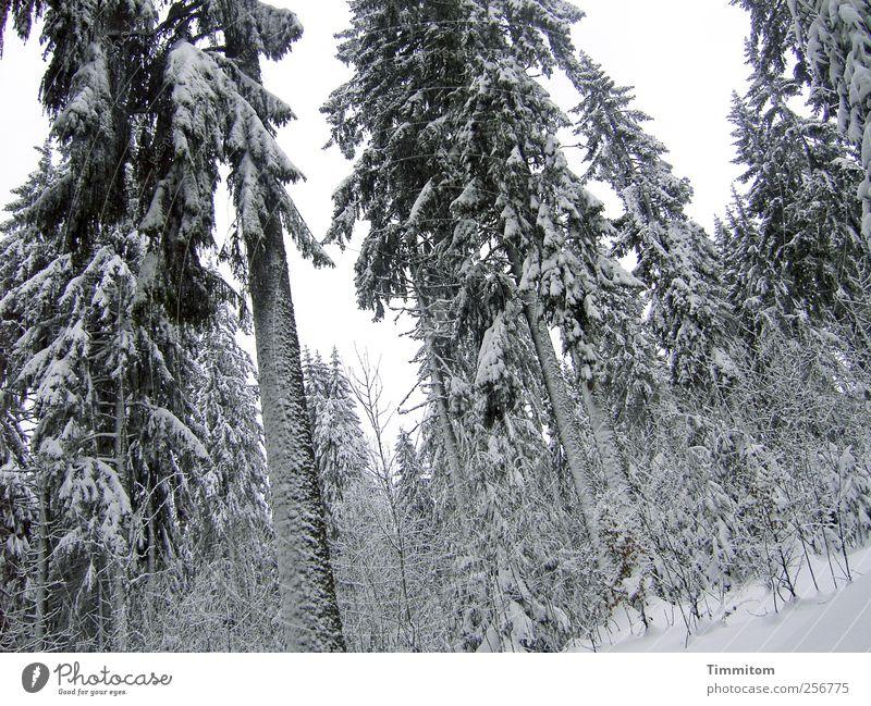 Heimat des Schneeadlers Freizeit & Hobby Umwelt Natur Pflanze Himmel Winter Baum Fichte Wald Schwarzwald Holz liegen Blick ästhetisch Coolness kalt grau schwarz