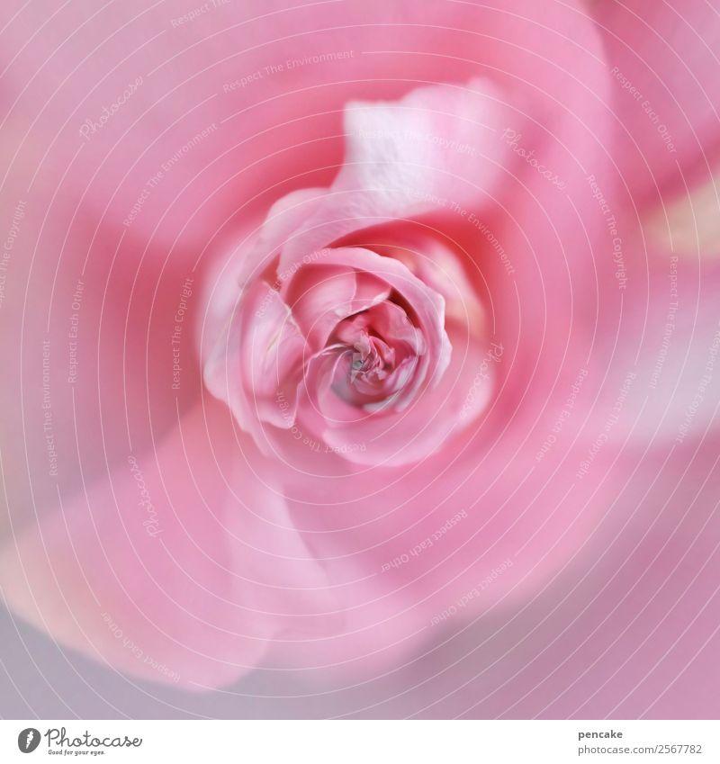 rosé rose Pflanze Blume Rose Lebensfreude Sympathie Liebe Reinheit Rosenblüte rosa rund Farbfoto Gedeckte Farben Außenaufnahme Makroaufnahme Experiment