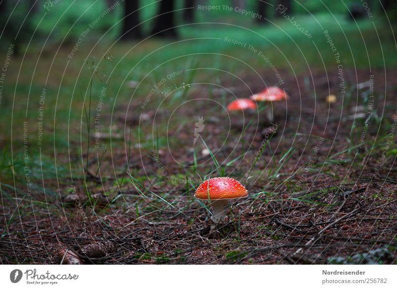 Rote Hüte Natur Pflanze Einsamkeit Wald dunkel Glück Wege & Pfade Erde Ausflug wandern entdecken Pilz Gift achtsam Waldboden Märchenwald