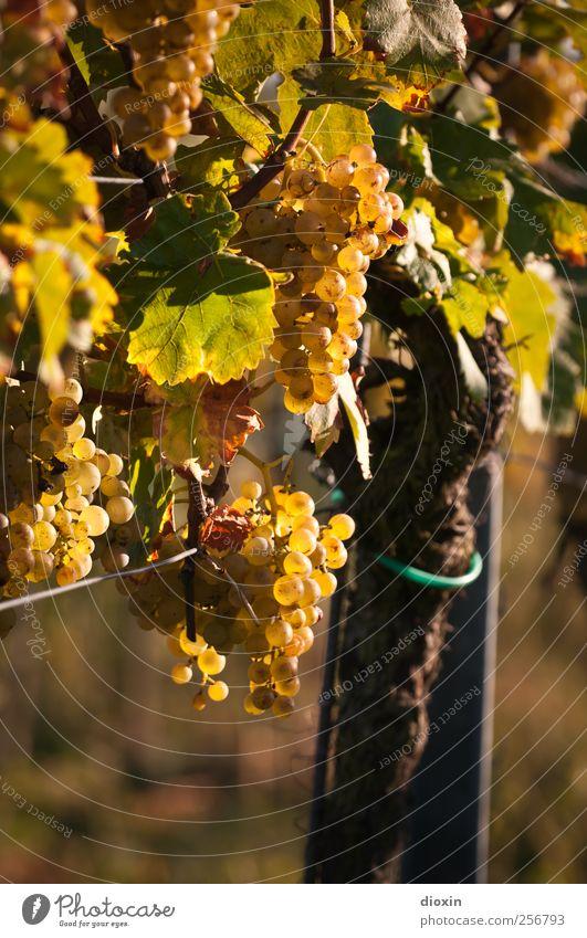 Rebstock Wein Sekt Prosecco Champagner Winzer Landwirtschaft Forstwirtschaft Weinberg Natur Pflanze Nutzpflanze Weintrauben Feld Wachstum lecker saftig süß