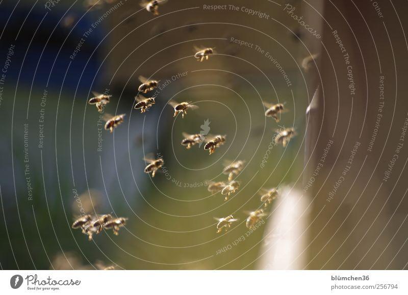 Alles fertig machen zur Landung !!! Natur Tier Nutztier Biene Schwarm fliegen tragen süß Frühlingsgefühle fleißig diszipliniert Ausdauer Teamwork Bienenstock