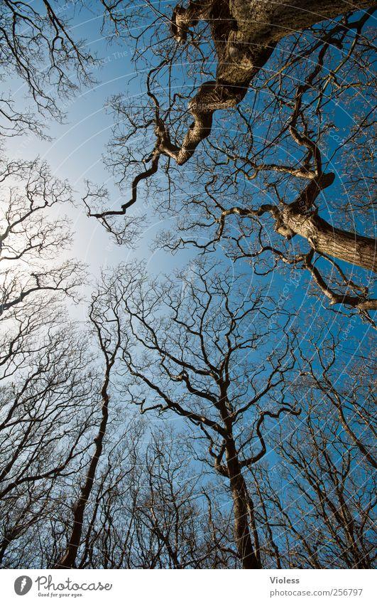 Spiekeroog | ...tree crowns Natur Pflanze Himmel Baum Unendlichkeit blau Baumkrone Geäst laublos Farbfoto Außenaufnahme Menschenleer Weitwinkel