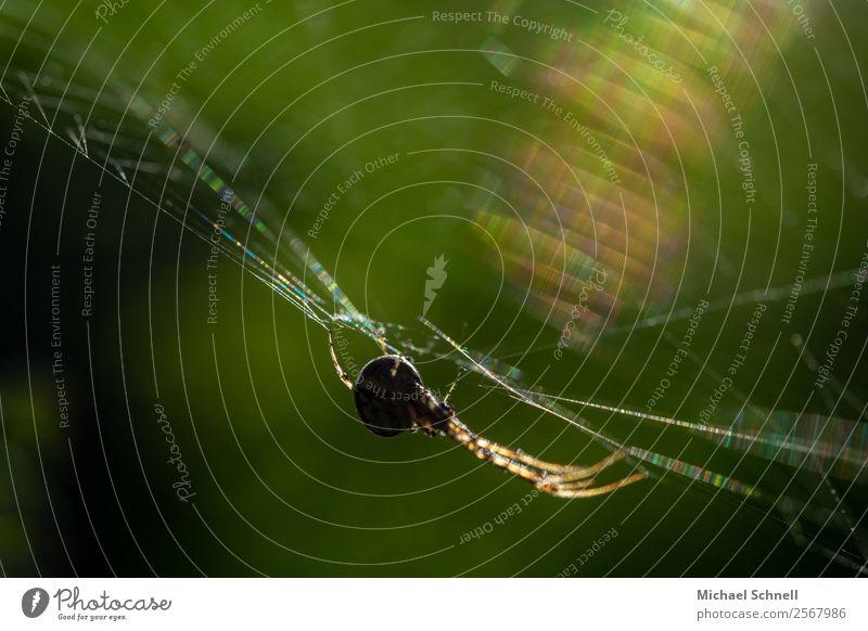 Spinne im Netz Tier Wildtier 1 fangen hängen sportlich Ekel glänzend natürlich Zufriedenheit Angst elegant Konzentration Farbfoto mehrfarbig Außenaufnahme