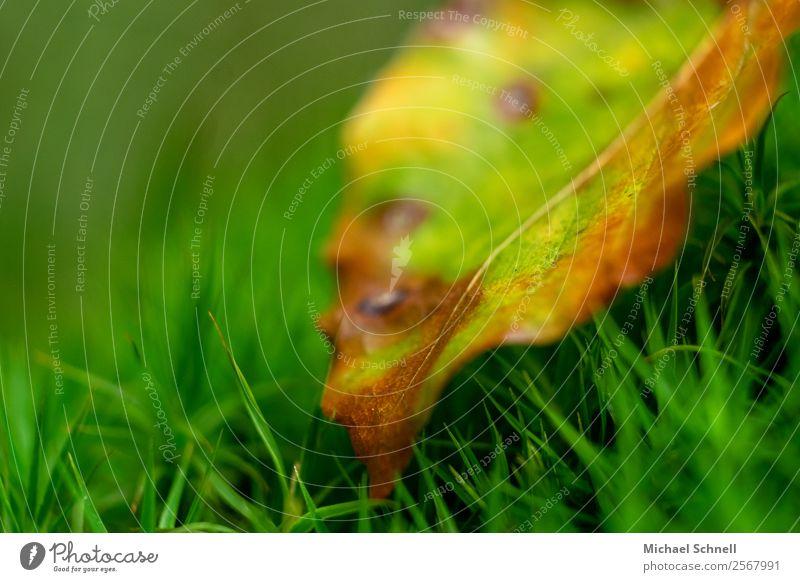 Herbstfarben Umwelt Natur Pflanze Gras Blatt Wiese einfach klein natürlich braun gelb grün Tod Müdigkeit unbeständig Farbe Vergänglichkeit