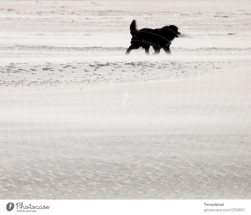 Spiekeroog | schwarz. Strand Sand Meer Wind wehen Hund groß Fell zerzaust weich Wärme gehen laufen Spaziergang trist Farblosigkeit grau Traurigkeit verloren