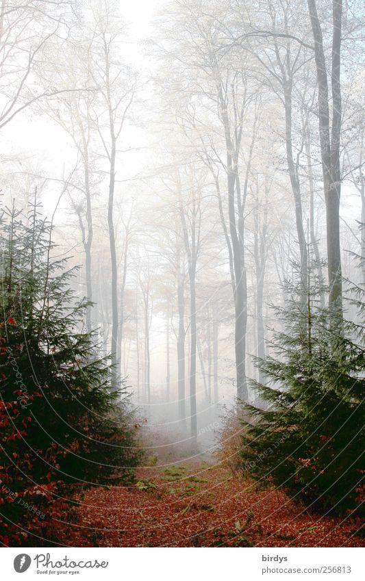 Tor zum Märchenwald Natur Pflanze Wald Herbst träumen Stimmung Nebel natürlich hoch ästhetisch authentisch leuchten Wandel & Veränderung einzigartig Romantik