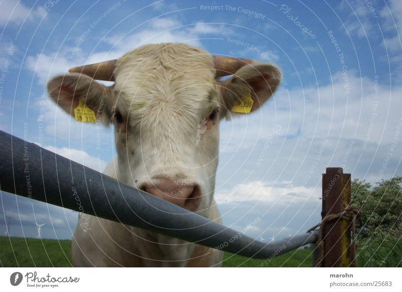 neugieriges kalb Natur Tier Umwelt Graffiti Neugier Zaun Kuh Interesse Rind Bulle Lebensmittel Kuhdorf muhen schaulustig Trittleiter