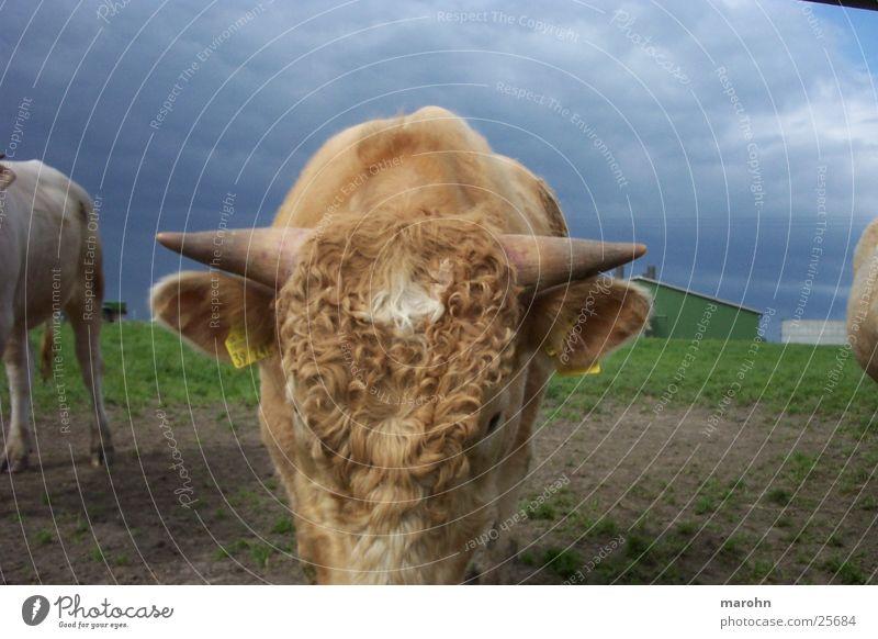 lockenkuh Natur Tier Kuh Gewitter Locken Haustier Horn Nutztier
