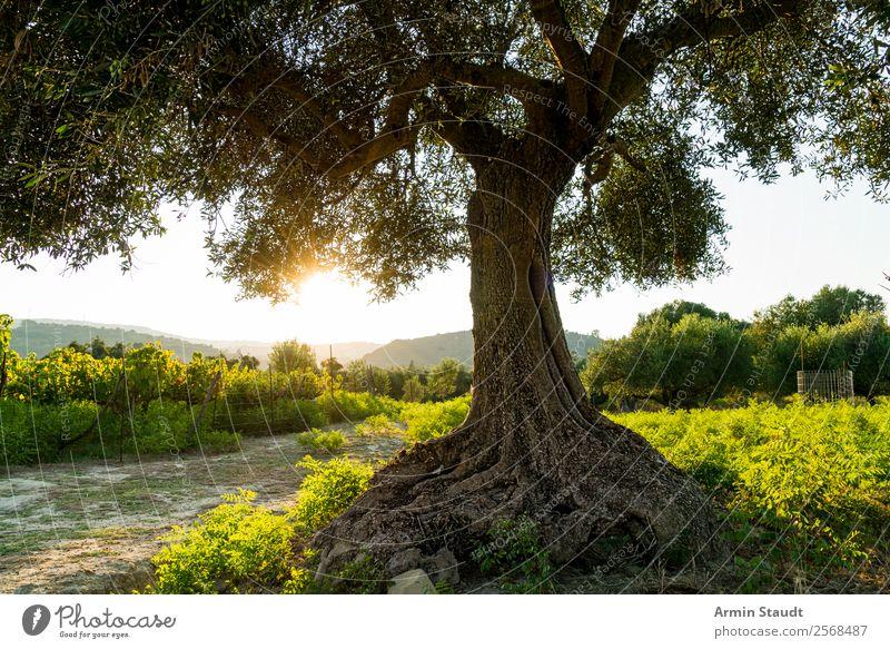 Olivenbaum im Gegenlicht ruhig Ferien & Urlaub & Reisen Ausflug Abenteuer Ferne Freiheit Sommerurlaub Berge u. Gebirge Natur Landschaft Wolkenloser Himmel