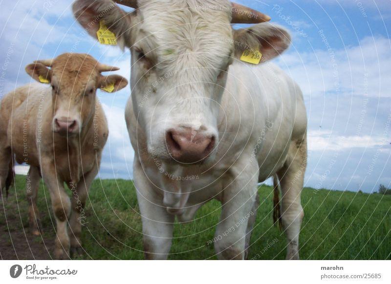 kühe, bullen, rindviecher Tier Kuh klein Neugier Kalb Tierjunges Weide 2 Horn Kopf Kuhfell weiß hellbraun Blick in die Kamera Viehhaltung Farbfoto Außenaufnahme
