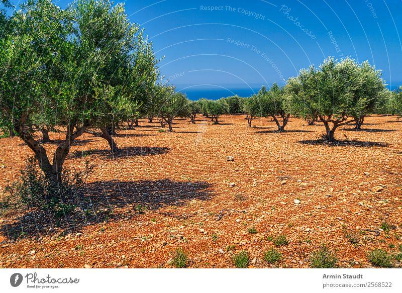 Olivenbäume Ferien & Urlaub & Reisen Sommerurlaub Umwelt Natur Landschaft Erde Wolkenloser Himmel Klimawandel Schönes Wetter Olivenhain Meer trist trocken Farbe