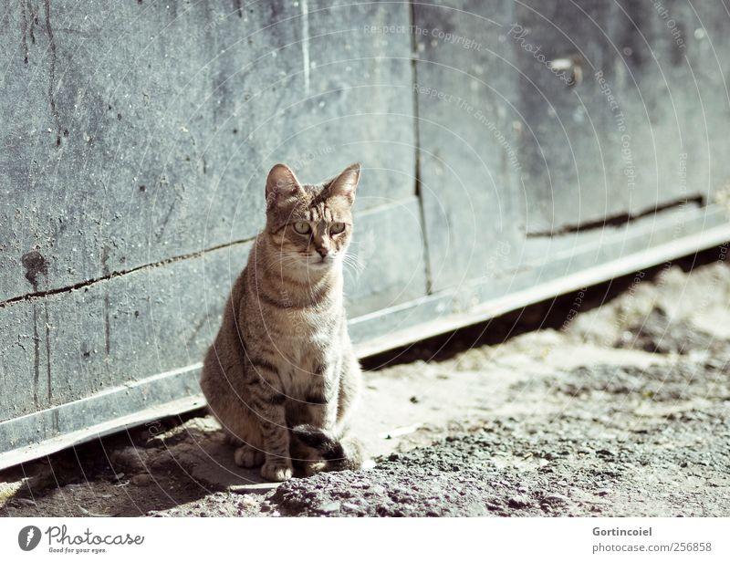 Freiheit. Tier Wildtier Katze Fell 1 frei Straßenkatze Tigerfellmuster Katzenkopf sitzen warten Sonnenbad Herumtreiben Katzenpfote Farbfoto Gedeckte Farben