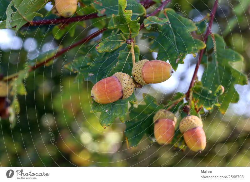 Eicheln hängen Ast Baum Blatt Sommer Herbst Pflanze grün Frucht Natur Farbe reif