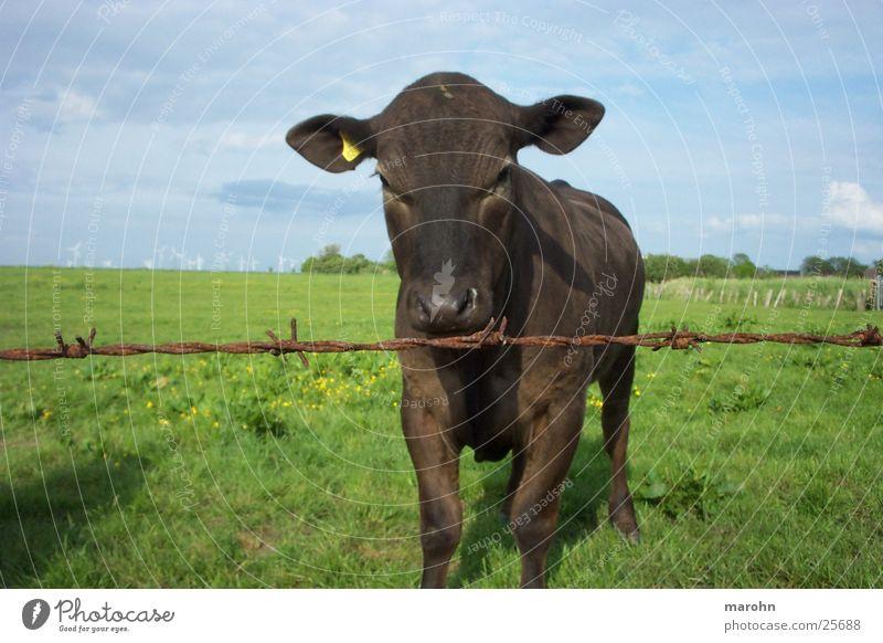 noch ne neugierige kuh Himmel Natur Landschaft Gras Neugier Kuh Zaun Segelohr