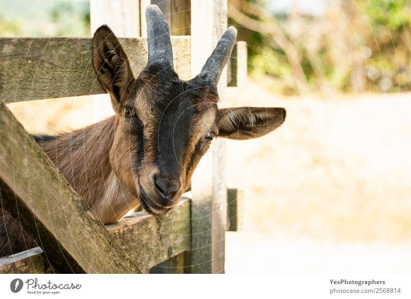 Neugierige junge Bauernhofziege Landschaft Tier Schönes Wetter Nutztier Tiergesicht Ziegen 1 Freundlichkeit lustig braun Ackerbau Tiere seltsam heimisch