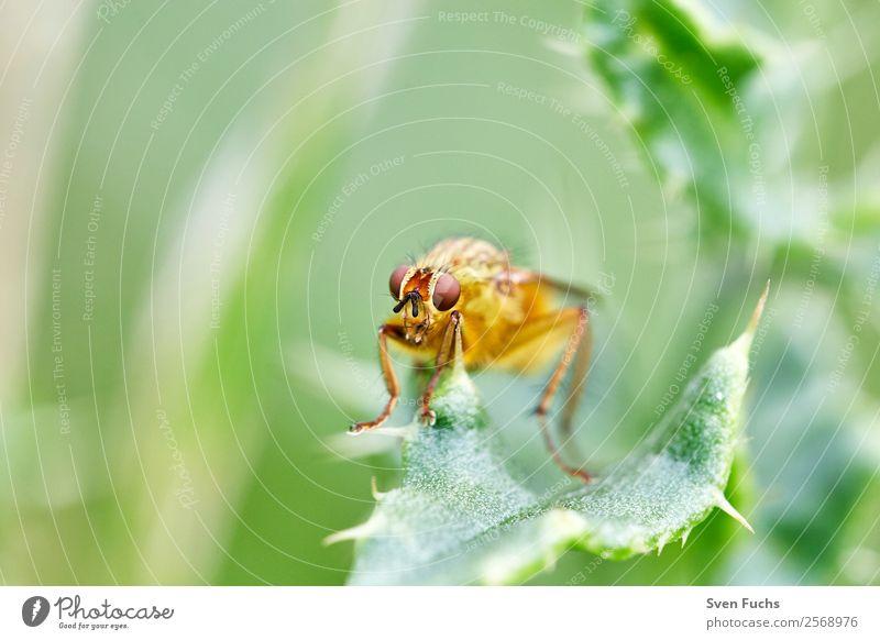 Schwebfliege (Syrphidae) auf einem Blatt schön Sommer Garten Natur Pflanze Tier Blume gelb grün rot Insekt Augen Fliege Syrphiden wild Hintergrundbild Farbfoto