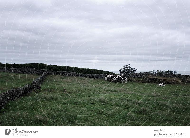 durchs wilde kuh.distan Landschaft Wolken Sommer schlechtes Wetter Gras Haustier Kuh Tiergruppe Herde Stein bedrohlich grau grün Mauer weiden fressen Abgrenzung