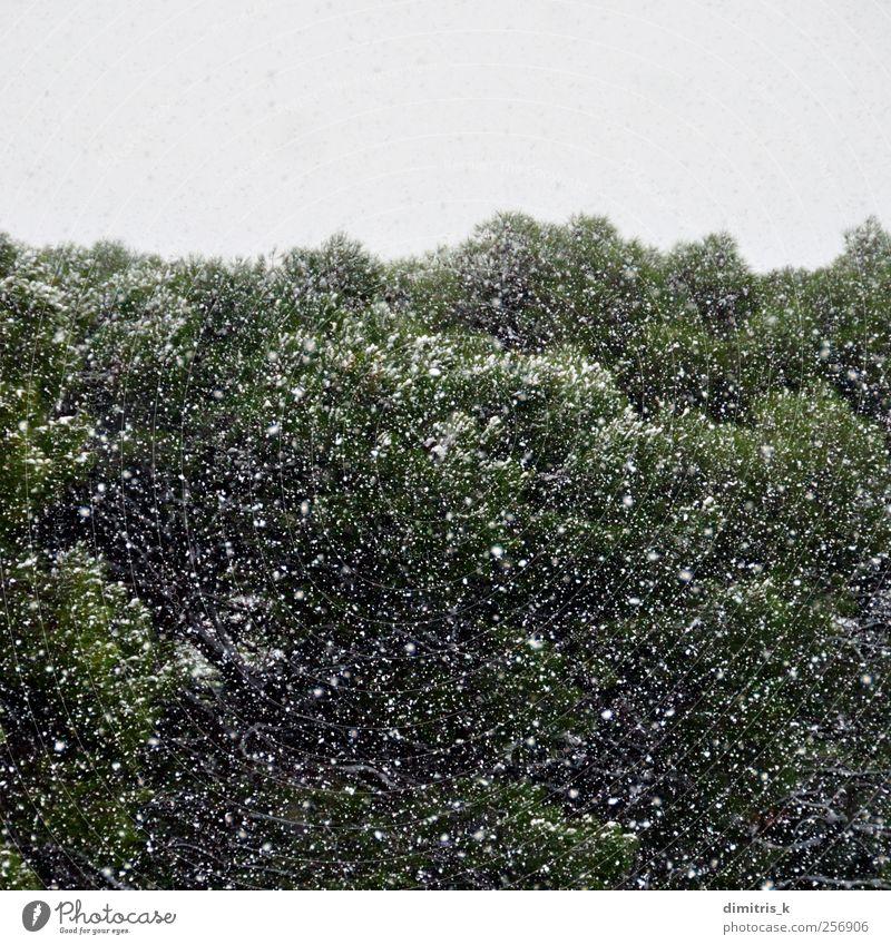 Schneesturm im Wald ruhig Winter Umwelt Natur Landschaft Pflanze Wetter Unwetter Eis Frost Schneefall Baum träumen kalt weiß Stimmung Gelassenheit Surrealismus