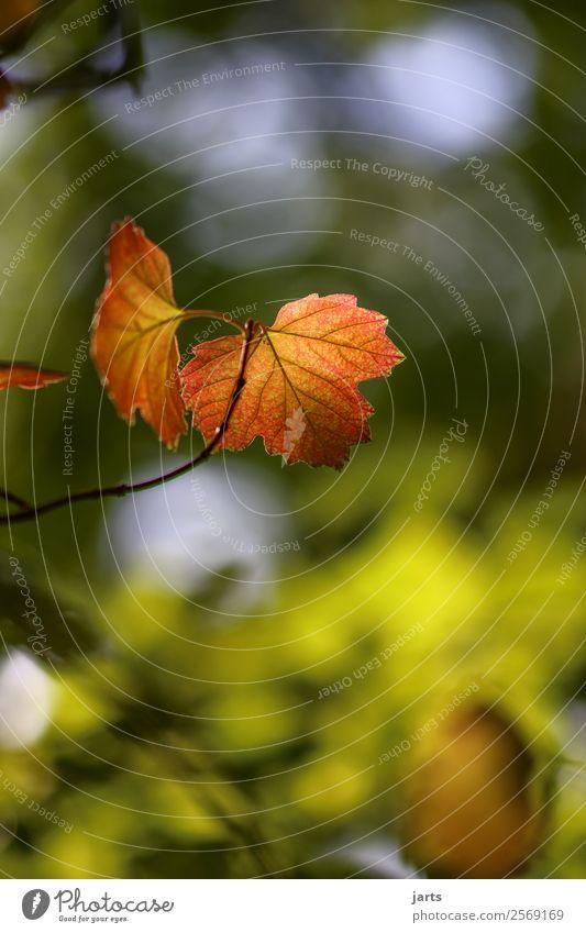 herbstgruß Natur Pflanze Baum Blatt Wald Herbst natürlich leuchten Schönes Wetter Herbstfärbung