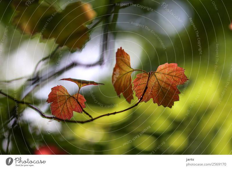 blattgold Natur Pflanze Herbst Schönes Wetter Baum Blatt Wald einfach elegant nachhaltig natürlich Vorsicht Gelassenheit ruhig Farbfoto mehrfarbig Außenaufnahme