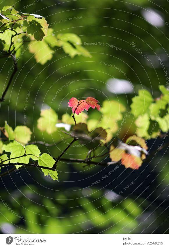 wenn der herbst kommt Pflanze Herbst Schönes Wetter Baum Blatt Wald frisch hell natürlich grün rot Gelassenheit ruhig Natur Farbfoto Außenaufnahme Menschenleer