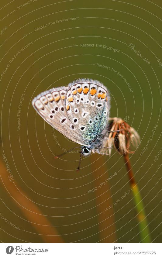 bläuling Natur schön Tier natürlich Wiese elegant Wildtier Schmetterling Hauhechelbläuling