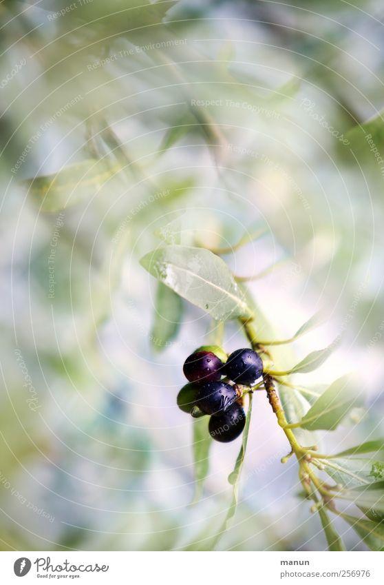 Oliven Lebensmittel Frucht Ernährung Bioprodukte Vegetarische Ernährung Natur Sommer Baum Blatt Nutzpflanze Zweige u. Äste Olivenbaum Olivenblatt mediterran