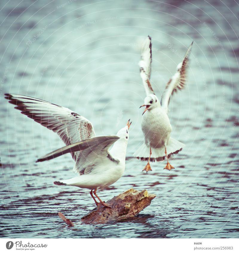 Stresstest* Umwelt Natur Tier Urelemente Wasser Wetter See Wildtier Vogel 2 Tierpaar schreien Konflikt & Streit wild Möwe fliegend Wasseroberfläche Flügel