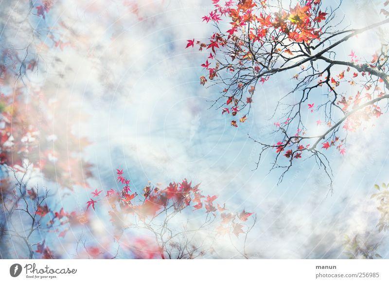 Reigen Natur Herbst Baum Blatt Ahorn Ahornblatt Ahornzweig Zweige u. Äste außergewöhnlich fantastisch schön blau rot einzigartig Kunst Leichtigkeit Surrealismus