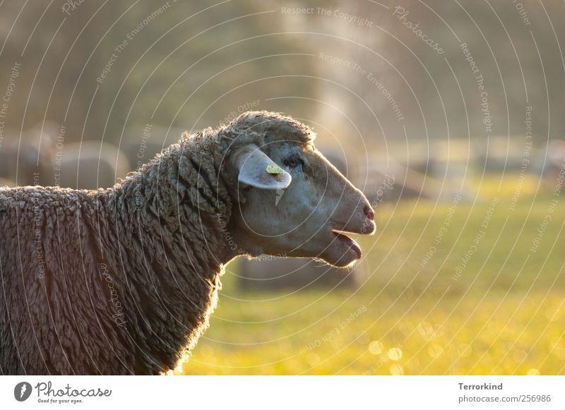 Chamansülz 2011 | gesichts.lähmung Baum Sonne Sommer Nebel Weide Schaf Zunge Maul Wolle Geräusch Geistesabwesend