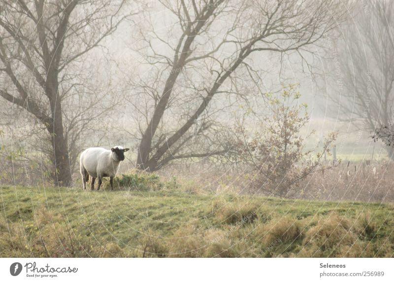 Deichwanderung Umwelt Natur Landschaft Pflanze Tier Wetter Nebel Baum Gras Wiese Wald Hügel Nutztier Schaf 1 kuschlig Farbfoto Außenaufnahme Menschenleer Tag