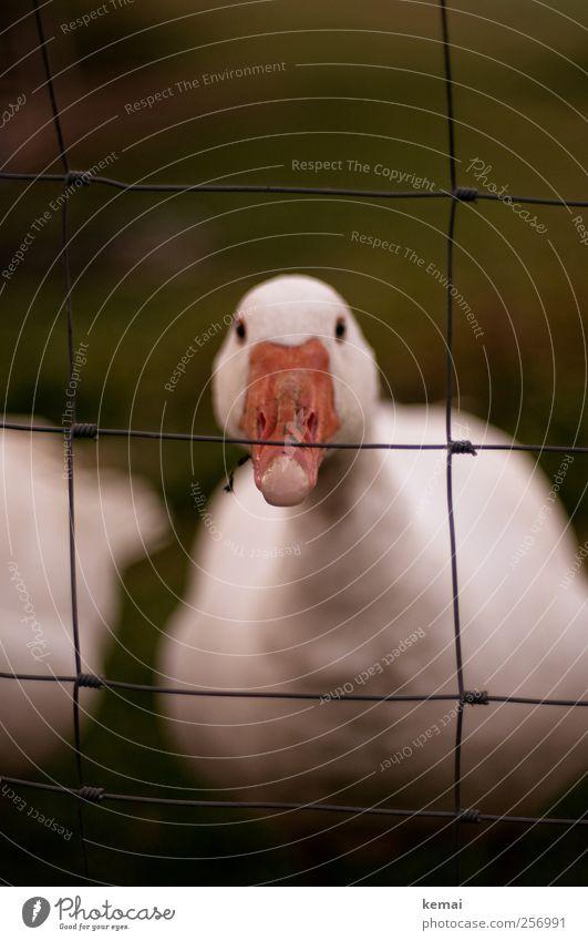 Skeptisch Umwelt Natur Wiese Nutztier Tiergesicht Gans Auge Schnabel Blick warten dunkel weiß Wachsamkeit dumm doof Schüchternheit Gleichgültigkeit skeptisch