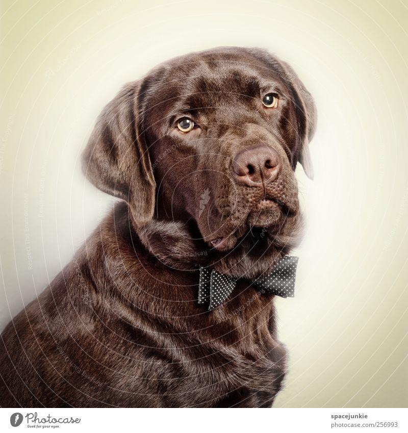 Paul schön Tier Hund Traurigkeit lustig braun sitzen außergewöhnlich beobachten Fell Freundlichkeit Haustier Humor Labrador Fliege Tierliebe
