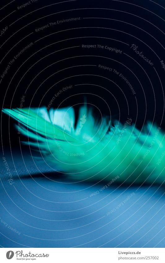 Feder Tier fliegen blau grün schwarz Farbfoto Innenaufnahme Makroaufnahme Menschenleer Licht Schatten