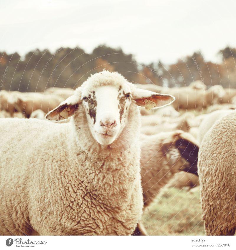 muhhhh! Natur Tier Gesicht Herbst Umwelt Wärme lustig Zufriedenheit weich Ohr Tiergesicht Fell Schaf kuschlig Wolle Herde