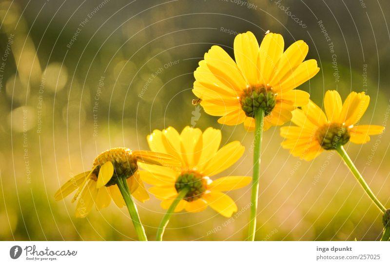 der Sonne entgegen Umwelt Natur Sonnenlicht Sommer Schönes Wetter Wärme Blume Wildpflanze Chrysantheme Korbblütengewächs Beet Garten Park Blühend Wachstum
