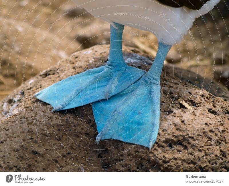 Kalte Füsse Natur blau schön Farbe kalt Vogel Tierfuß Wildtier Coolness frieren Zehen Evolution Brunft Schwimmhaut Angeber Ecuador