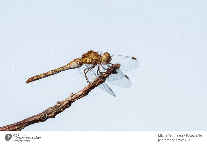 Libelle auf dem Zweig Natur Tier Himmel Wolkenloser Himmel Sonne Sonnenlicht Schönes Wetter Baum Ast Zweige u. Äste Wildtier Tiergesicht Flügel Heidelibelle