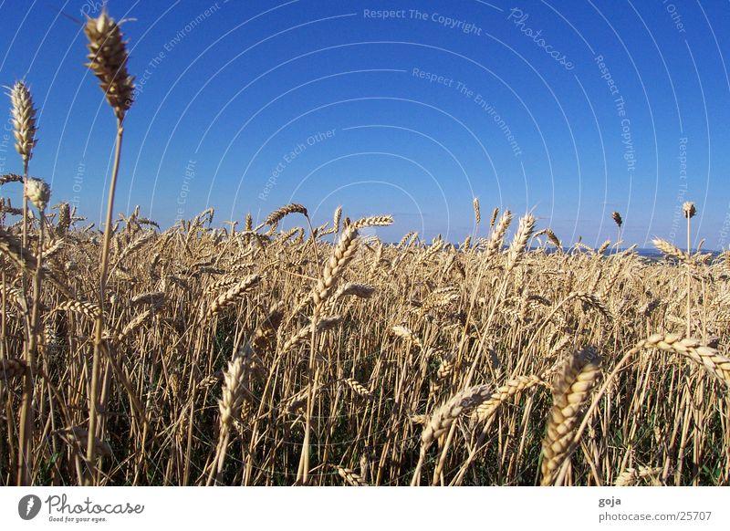 Weizen Feld im Sommer Himmel Sonne Berge u. Gebirge Freiheit Mahlzeit